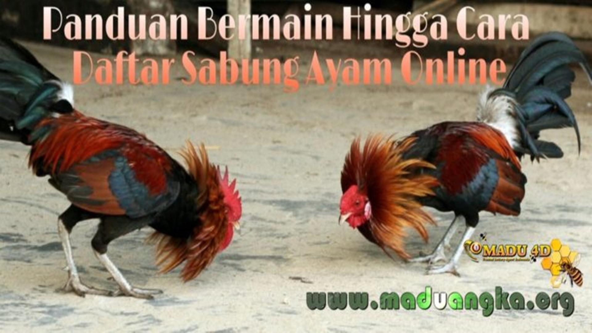 Panduan Bermain Sabung Ayam