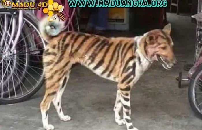 Petani Ini Cat Anjing Peliharaannya Jadi Seperti Macan